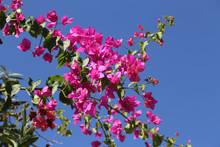Blooming Bougainvilleas Against The Blue Sky