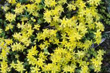 Sedum Acre, Goldmoss Stonecrop Yellow Flowers Macro