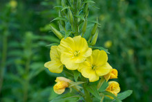 Evening Primrose Yellow Flowers