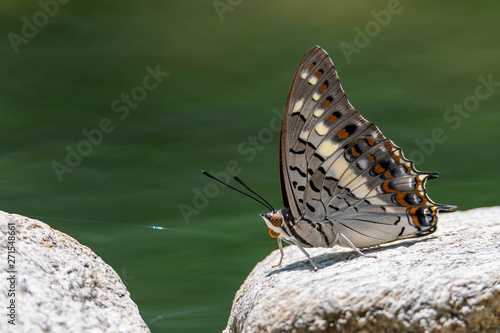 Black Rajah butterfly perching on a rock near a pond Wallpaper Mural