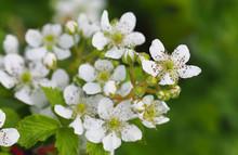 Raspberry Bush With White Flowers. Flowering Rubus. Beautiful In Spring Bloom Garden, Panorama, Close-up