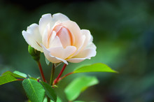Pink Roses On The Bush, Macro, Rose Garden