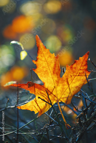 Obraz Yellow maple leaf on the ground in autumn sunlight - fototapety do salonu