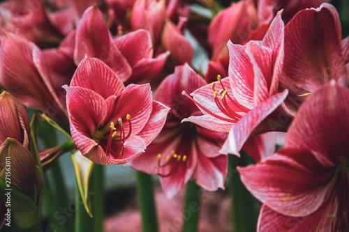 Photo Amaryllis Hippeastrum pink flowers in garden close-up.