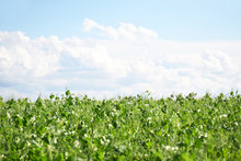 Green Pea Field Farm In Bright Day With Blue Sky And White Clouds With Copy Space. Growing Peas Outdoors And Blurred Background.
