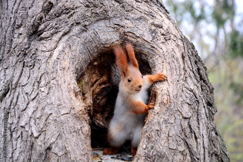 Photo sur Toile Squirrel squirrel. tree fun