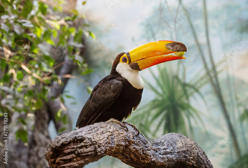 Toucan. It is one of the brightest tropical birds living in America. Toucans have a large, brightly colored beak. However, the beak itself is relatively light, due to its porous structure.