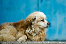 Old Stray Dog Against A Blue Wall