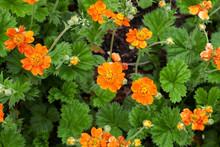Chilean Avens Or Geum Chiloense Orange Flowers Growth, Top View