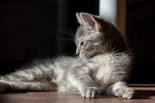 Beautiful Gray Kitty, Lying Gr...