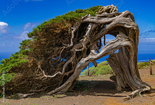 Phoenicean juniper (Juniperus phoenicea canariensis), with blue sky and some clouds background, El Sabinar, Frontera, El Hierro, Canary islands, Spain