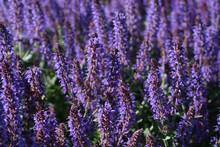 Background Of Blooming Purple Sage Flowers
