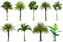 Tree Collection,Palm Tree Isolated On White Background