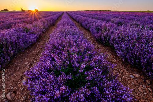 Poster Violet Champ de la sauge officinale. Coucher de soleil. Provence, Plateau de Valensole. France.