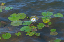 White Waterlily With Lily Pads In A Pond