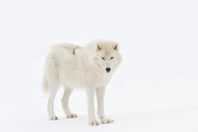 Arctic Wolf Isolated On White ...