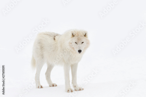 Spoed Fotobehang Wolf Arctic wolf isolated on white background walking in the winter snow in Canada