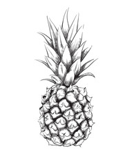 Pineapple Vector Line Art. Vin...