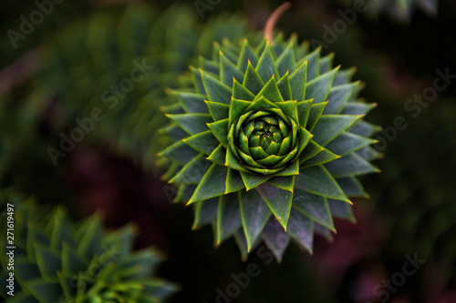 Monkey puzzle tree (Araucaria araucana) Canvas Print
