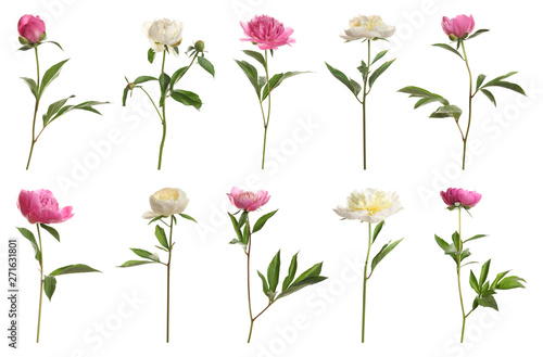 Poster Fleuriste Set of beautiful peony flowers on white background