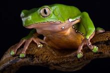 Giant Monkey Frog (Phyllomedus...
