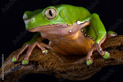 Giant monkey frog (Phyllomedusa bicolor) Canvas Print