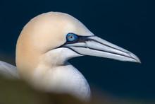 Close Up Of Gannet