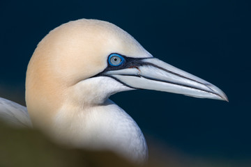 Close up of gannet