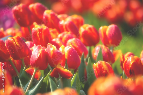 Poster Cappuccino Red tulip field with dewdrop for background.