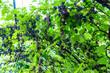 canvas print picture - reife Weintrauben hängen an einer Rebe