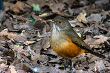 Rufous-bellied Thrush, Bird Wi...