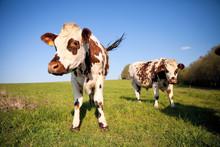 Troupeau De Vaches En Campagne > France