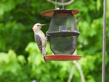 Juvenile Red Bellied Woodpecker