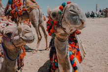 Two Camels With Ornamental Saddles Standing Near Camera While Traveling With Caravan In Desert Near Cairo, Egypt