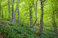 Trees With Fresh Spring Green Leaves And Blue Flowers In Foothills Puerto De Ventana In Spain