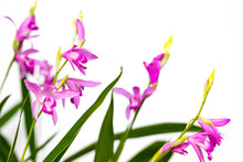 Closeup Of A Beautiful Pink Bletilla Orchid Flower. Bletilla Isolated On White Background, One Of The Early Blooming Hardy Terrestrial Garden Plants