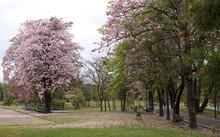 Tabebuia Rosea Is A Pink Flowe...