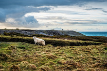 Sheep On Mountain In Pembrokeshire Coast National Park