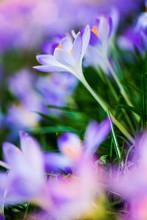 Close Up Of Pale Purple Crocus...