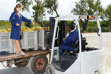 Vineyard Workers Filling Truck With Gathered Harvest Of Ripe White Grapes