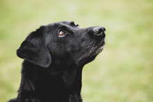 Close Up Of A Black Labrador Dog.,Dog Training School