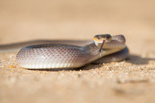 A Herald Snake, Crotaphopeltis Hotamboeia, Coils In The Sand, Direct Gaze With Tongue Out	,Londolozi Game Reserve