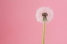 Dandelion On A Pink Background...