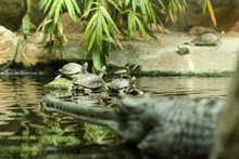 Several Water Turtles Are Standing On The Stone And Also On Each Other And Are Watching The Gavial Standing In Front Of Them.