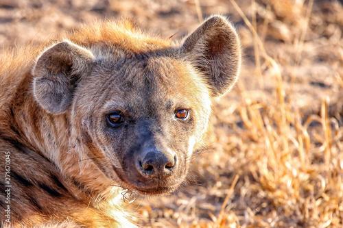 Canvas Prints Hyena hyena