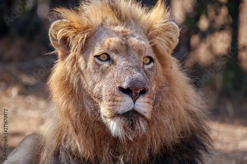 Photo  A large African male lion