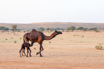 Mother camel and her new bo...