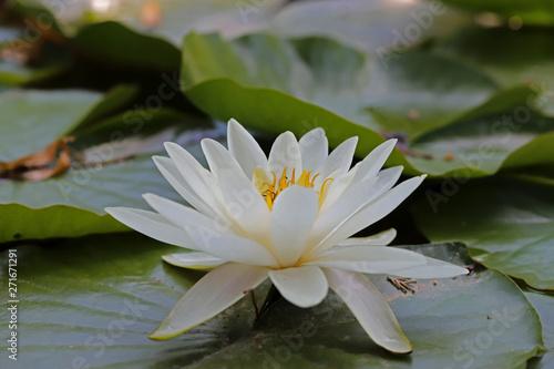 Poster de jardin Nénuphars Beautiful lotus flower in pool ; Nymphaea sp.
