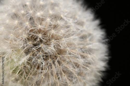 Fototapeta dandelion flower close up on a black background, selective focus. Looks like the Earth in the Space obraz na płótnie