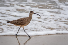 A Whimbrel (numenius Phaeopus) Wades In The Surf As It Searches For Food, On The Beach Along The Monterey Bay Of Seaside, California.
